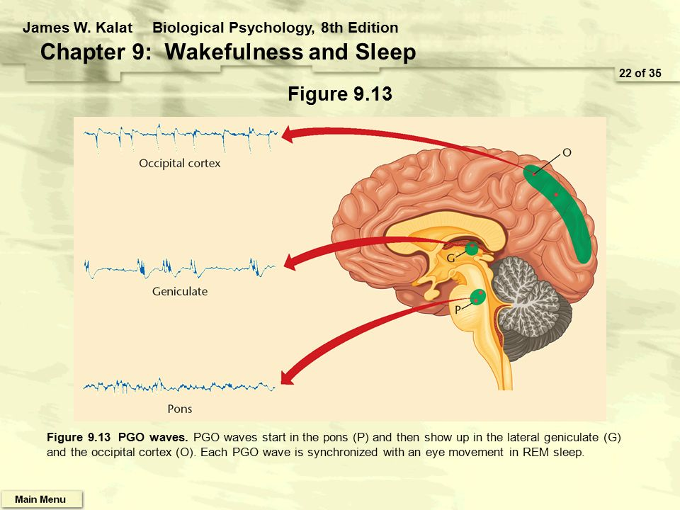 ( Wakefulness and Sleep - Image Courtesy of slideplayer.com )