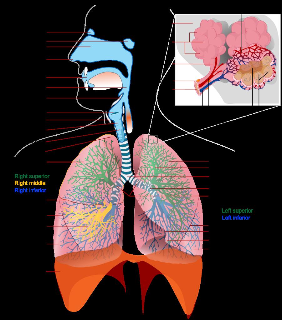 ( Respiratory System Anatomy - Image Courtesy of anatomy-medicine.com )