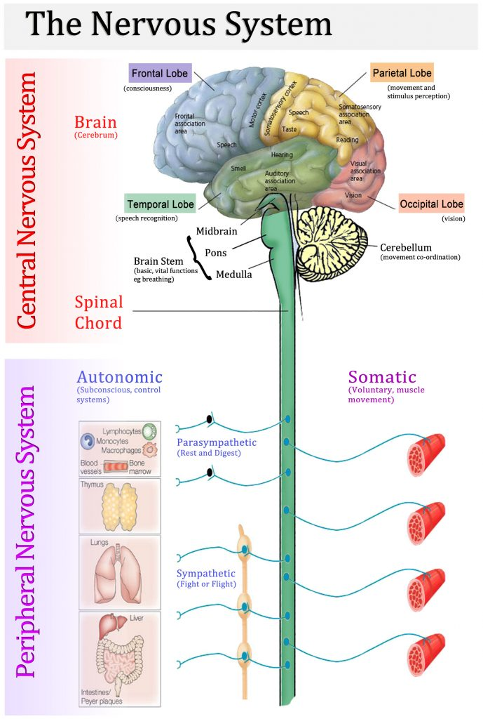 ( Nervous System - Image Courtesy of climatereview.net )