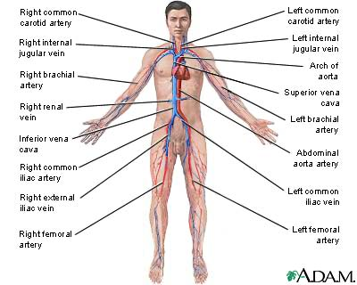( Blood Circulation System - Image Courtesy of creationwiki.org )