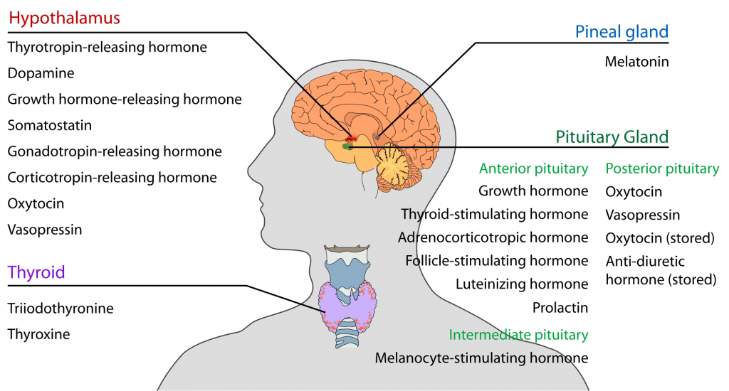 ( Endocrine Hormones - Image Courtesy of en.wikipedia.org )