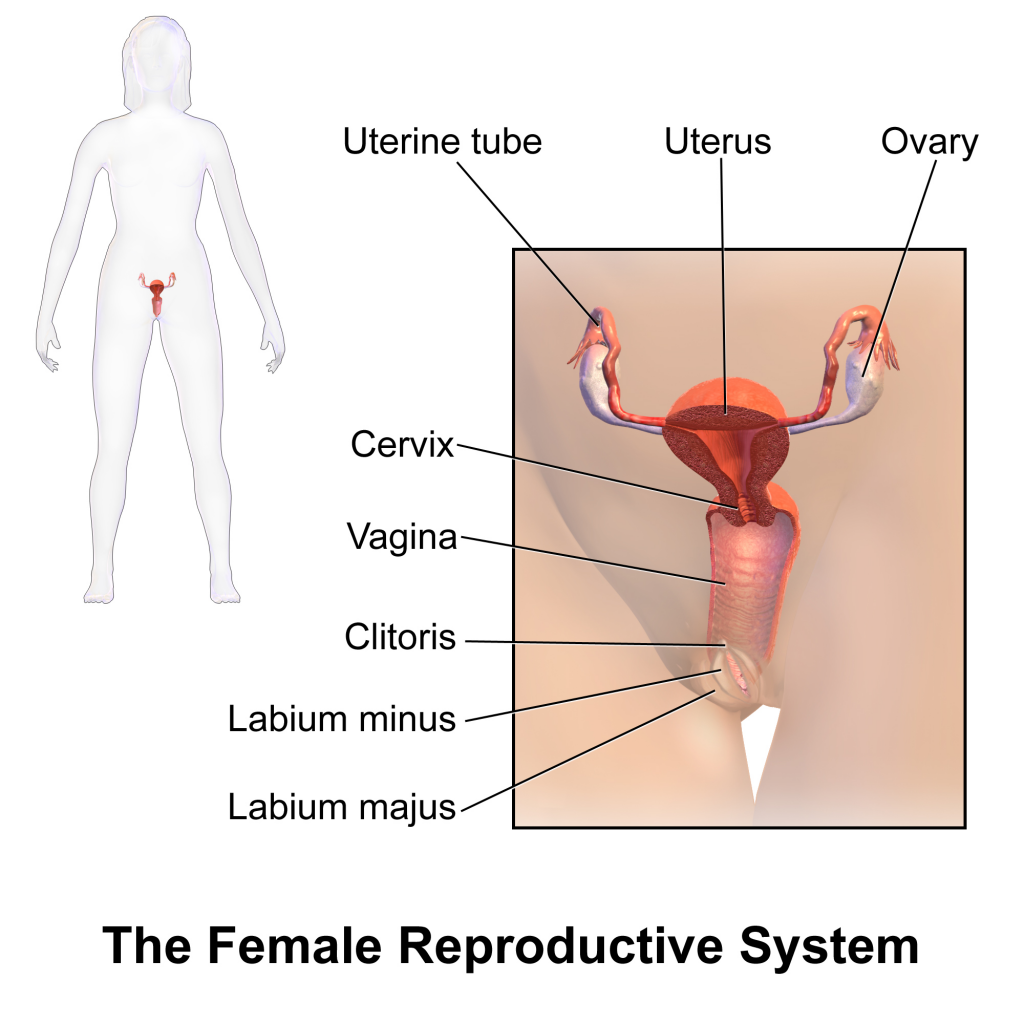 ( Female Reproductive Organs - Image Courtesy of en.wikipedia.org )