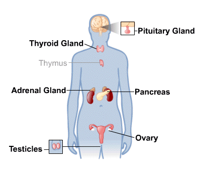 ( Endocrine System - Image Courtesy of medlineplus.gov )