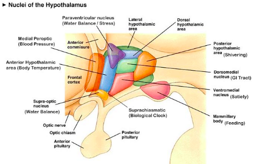 ( Insomnia- The Hypothalamus and Homeostasis - Image Courtesy of wiki.bethanycrane.com )