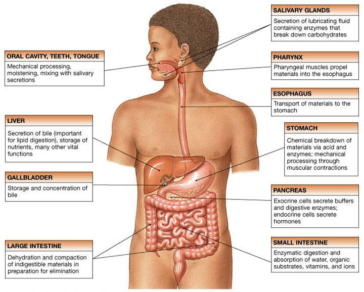 ( GastroIntestinal System - Image Courtesy of www.austincc.edu )