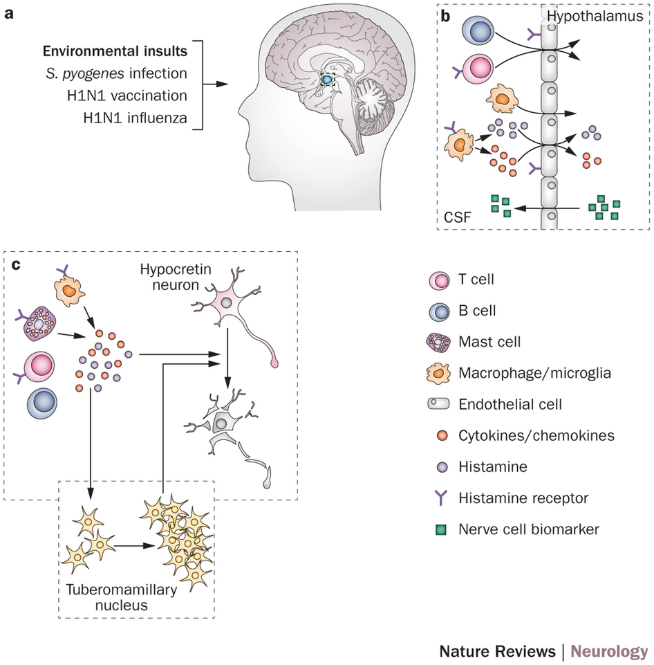 ( Hypocretin from Hypothalamus in Narcolepsy - Image Courtesy of www.nature.com )